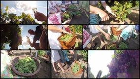 Récolte mûre de raisin, concept de vin - collage de photo Photographie stock