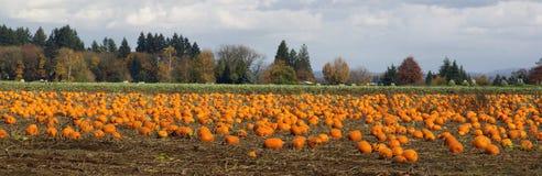 Récolte mûre de scène de ferme de champ de potiron de légumes panoramiques de correction image libre de droits