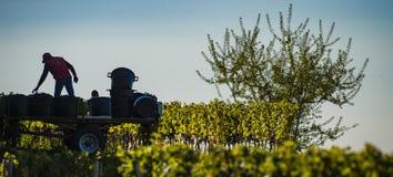 Récolte manuelle dans le vignoble de Bordeaux photos libres de droits
