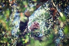 Récolte olive images libres de droits