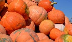 Récolte, orange de potiron Images stock