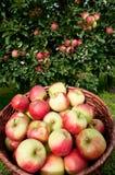 Récolte riche de pommes Images stock