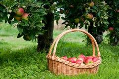 Récolte riche de pommes Image stock