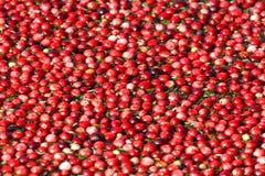 Récolte rouge de canneberge photographie stock libre de droits