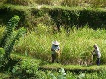 Récolte sur les beaux gisements de riz Image stock