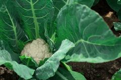 Récolte très bonne d'un chou-fleur Tête de chou Moisson Images stock