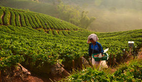 Récolteuse de fraise Photos libres de droits