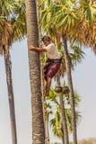 Récolteuse de noix de coco Photographie stock