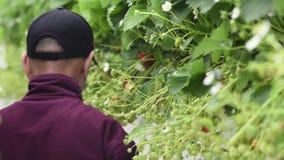 Récolteuse de Strawberrie en serre chaude dans Westland clips vidéos