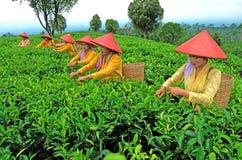 Récolteuse de thé photos stock