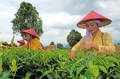 Récolteuse de thé Photographie stock libre de droits