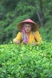 Récolteuse de thé photo stock