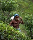Récolteuse Tamoule de thé au Sri Lanka Photos stock
