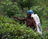Récolteuse Tamoule de thé au Sri Lanka Photo libre de droits