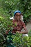 Récolteuse Tamoule de thé au Sri Lanka Images stock