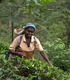 Récolteuse Tamoule de thé dans Nuwara Eliya Image stock