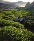 Récolteuses Dawn Green Farm Harvesting Concept de thé image libre de droits