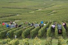 Récolteuses de raisins dans des Frances de Cramant Photos libres de droits
