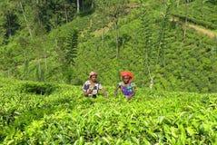 Récolteuses de thé photographie stock libre de droits