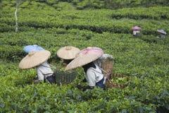 Récolteuses de thé Images stock