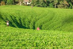 Récolteuses de thé au travail photo stock