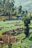 Récolteuses de thé dans Sri Lanka Photos libres de droits
