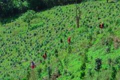 Récolteuses locales de thé au travail dans les montagnes de Kalaw extérieur en Shan State, Myanmar Image stock