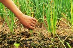 Récoltez à la main l'oignon Photo libre de droits