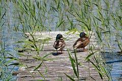 Récréation d'oiseaux sur la couchette Image stock