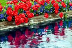 Réflexion bleue de jacinthe de tulipes rouges Image libre de droits