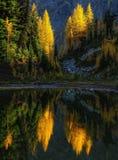 Réflexion d'arbre de mélèze, Washington State Image stock