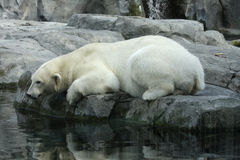 Réflexion d'ours blanc Photos libres de droits