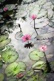 Réflexion dans l'étang avec le Nymphaea de nénuphar Images libres de droits