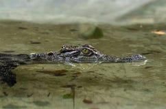 Réflexion de crocodile dans l'eau Photos libres de droits