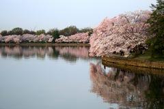 Réflexion de fleurs de cerisier Photo stock
