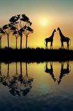 réflexion de giraffe Images libres de droits