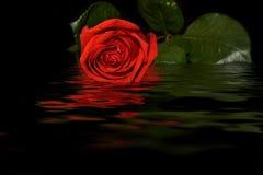 Réflexion de l'eau de fond de noir de rose de rouge Photo libre de droits