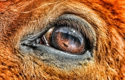 Réflexion de l'oeil d'un cheval islandais Photo libre de droits