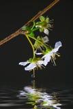 Réflexion de la mirabelle blanche Photo stock