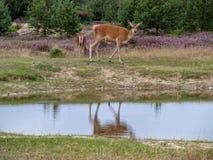 Réflexion de miroir des cerfs communs rouges Photo stock
