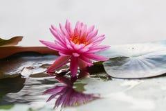 Réflexion de waterlily Photo libre de droits