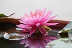 Réflexion de waterlily Photographie stock