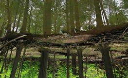 Réflexion des arbres dans la forêt Images libres de droits