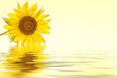 Réflexion jaune de l'eau de fleur de tournesol Photo stock
