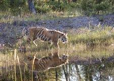Réflexion rétro-éclairée de tigre Images libres de droits