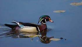Réflexions de canard en bois images stock