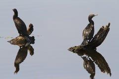 Réflexions de Cormorant Image libre de droits