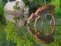 Réflexions de l'eau de cerfs communs Blanc-coupées la queue par bébé Photographie stock