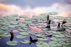 Réflexions de nénuphars et de nuages de coucher du soleil dans l'étang Image libre de droits