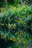 Réflexions verticales de fleur sur l'herbe impressionniste d'étang de jardin de rivage de rivière de l'eau photo stock